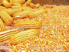 Corn Maize Flour Available
