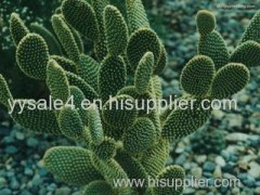 Health Product Cactus Extract/Cactus Powder Price/ Hot Slimming/ Lowest Price