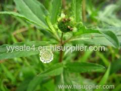 Supplier manufactury 10:1 Eclipta prostrasta L. Extract powder by TLC