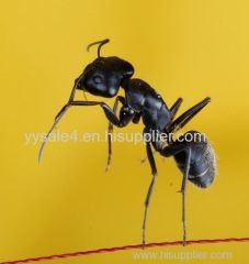 manufacture direct supply high quality 5:1 Polyrhachis vicina Roger/Black Ant P.E.