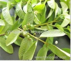Factory Supply High Quality Pure natural 4:1 10:1TLC Guava Leaf extract powder