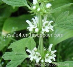 Chinese Factory Supply Marrube Extract 10:1 Marrubium vulgare L. powder