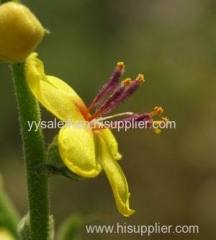 High Quality Women's Health product Flannel Mullein Extract/Verbasci flos P.E. Verbascum Extract 10:1
