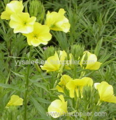 Factory Directly Supply Evening Primrose Extract powder 40% 10:1