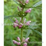 Hot sale Plant extract Motherwort plant P.E. Extract 10:1