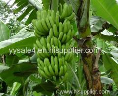 Direct Sale High Quality 10:1TLC Banana Leaf Extract for wholesales