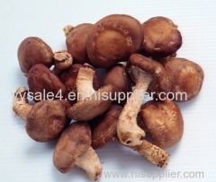 High Quality Lowest Price Hot Sales Fast Delivery STOCK! Shiitake Mushroom P.E. Extract