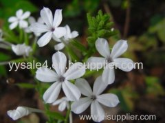 Hot Selling Pure Natural Plumbago zeylanica Extract/Plumbago auriculata Extract/Plumbago indica Extract