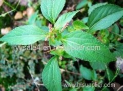 manufacturer of high quality Acalypha australis extract/Copperleaf extract