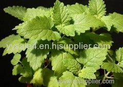 bulk supply super high quality Catnip Extract/ Catnip P.E. Hrba Schizonepetae Extract