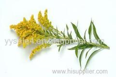 China manufacturer directly lowest price Solidago Canadensis Extract/Goldenrod Extract