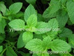 100% Natural plant Wild Mint Her b Extract/Mentha Piperita Extract/Peppermint Extract