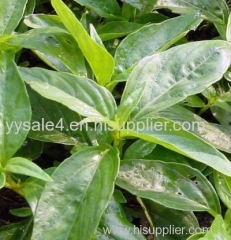 Natural plant Common Andrographis Her b Extract/Andrographis Extract/ Andrographolide/ Andrographis Paniculate Extract