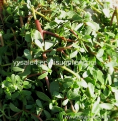 High Quality antibacterial Plant Extract/Natural Purslane Extract/Portulaca Extract