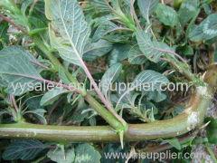 Hot Selling 10:1 Amaranthus spinosus extract powder