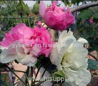Professional supply high quality Hibiscus Flower Extract(Cottomrose Hibiscus)