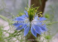 Pure plant extract Nigella Sativa Ext.Powder/ Nigella sativa Extract/ Black seed Extract
