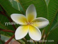 High quality pure natural High quality plant Plumeria Rubra Extract/ Plumeria Rubra P.E.