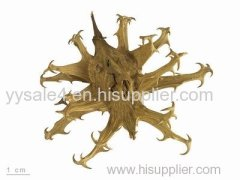 100% Natural and Organic 3-5% Harpagoside Devil's Claw Extract