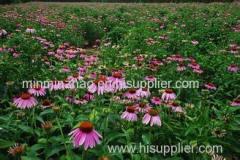 Echinacea purpurea Extract polyphenol 4%