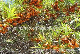 Sea buckthorn Fruit Extract Powder