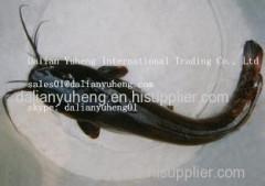 FROZEN CATFISH (Silurus Asotus)
