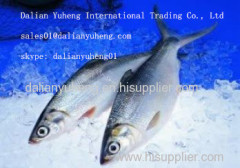 FROZEN MILK FISH (Chanos Chanos)