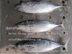 FROZEN BONITO TUNA Fish