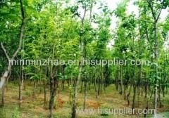 Pure Natrual Salix Alba Extract Salicin