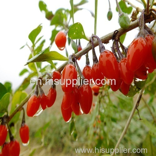 high quality Chinese goji berry/wolfberry in bulk