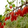 Factory Supply Dried Goji Berry