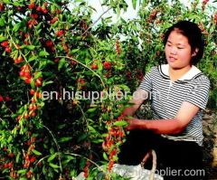 Fábrica de níspero rojo chino