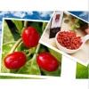 Dired Goji Berry Origined From Ningxia China