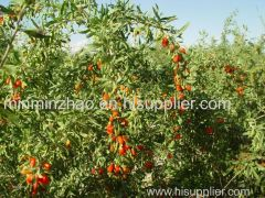 Goji berry extract manufactured by HUIKE