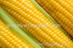 sweet corn maize grain