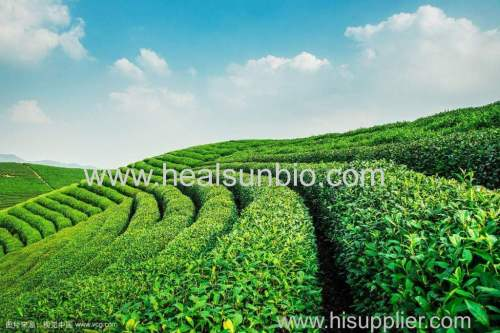 Tea Polyphenols 50% TO 98% HPLC