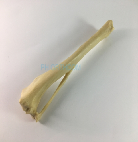 Canine/Dog scientific Skeleton model /Femur and Tibia for Veterinary education and practice use