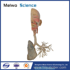 Overview of the respiratory system plastination for sale