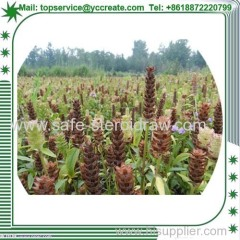 Prunella Vulgaris P. E Plant Extract Suppplier