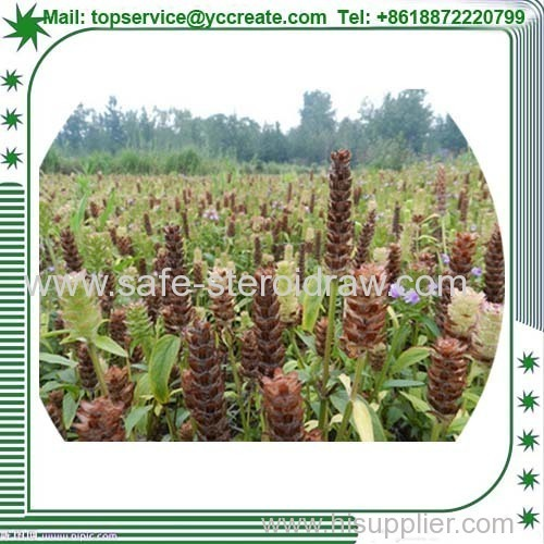 Prunella Vulgaris P. E Plant Extract Suppplier