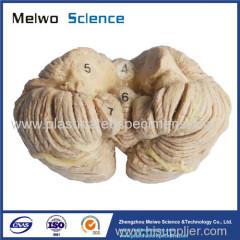 Human cerebellum plastinated specimen