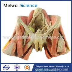 Female pelvic organs human body plastination