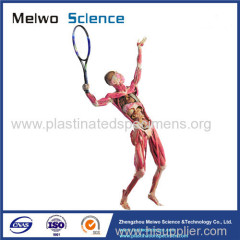 Playing tennis teaching specimen plastination