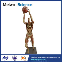 Playing basketball plastinated specimen