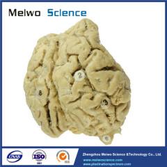 Brain of horse plastinated specimen