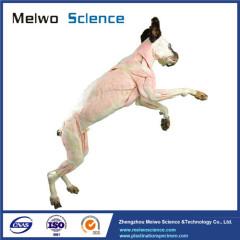 Dog plastinated specimen for medical university