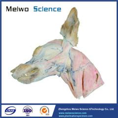 Superficial vein of dog head and neck plastination specimen