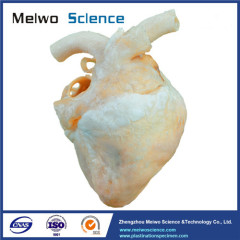 Heart of dog plastinated specimen