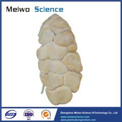 Kidney of cow plastinated specimen