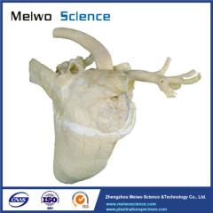 Heart cavity of cow plastinated specimen